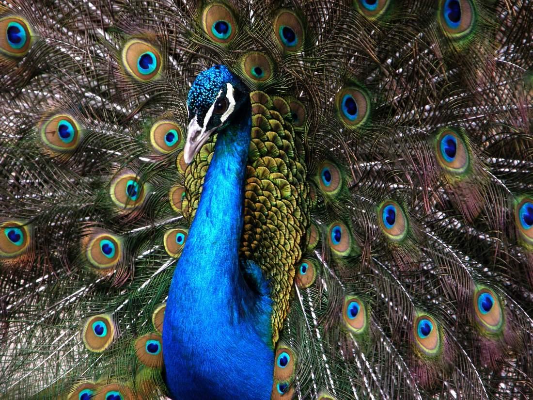 Il pavone un simbolo nell islam my amazighen last - Immagini pavone a colori ...